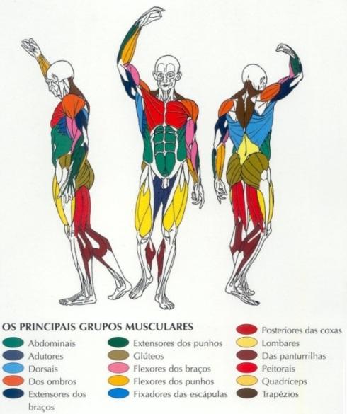 principais_grupos_musculares